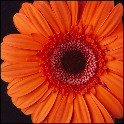 Daisy: Phialdelphia Flower Show: Orange Daisy: Bright Orange Daisy: Springtime: Roberts Event Group: Roberts event Group Springtime